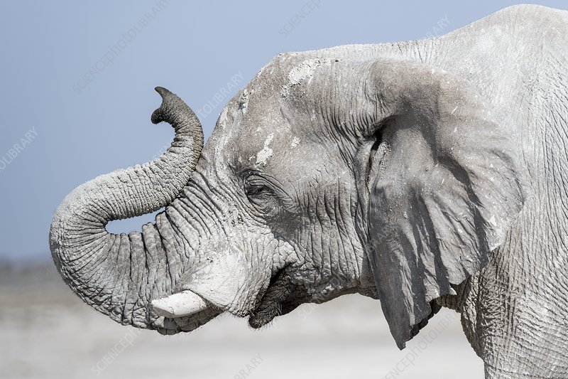 Bull elephant sniffing the air