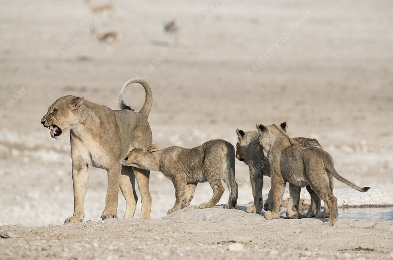 Lioness scowling at her cubs