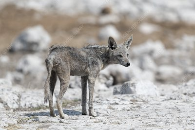 Black backed jackal with mange