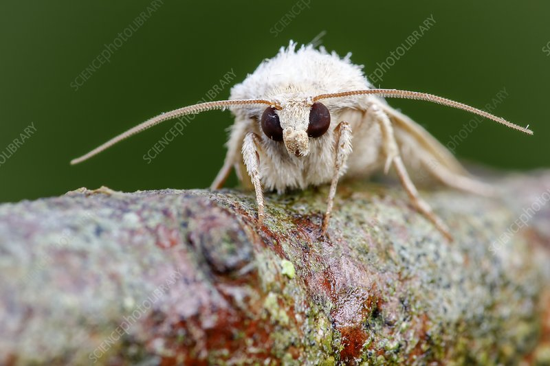 Vine's rustic moth