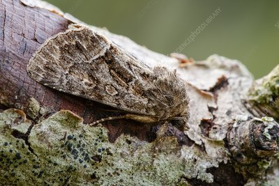 Straw underwing moth