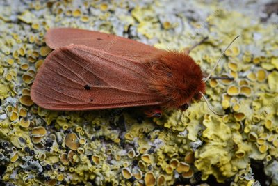 Ruby tiger moth