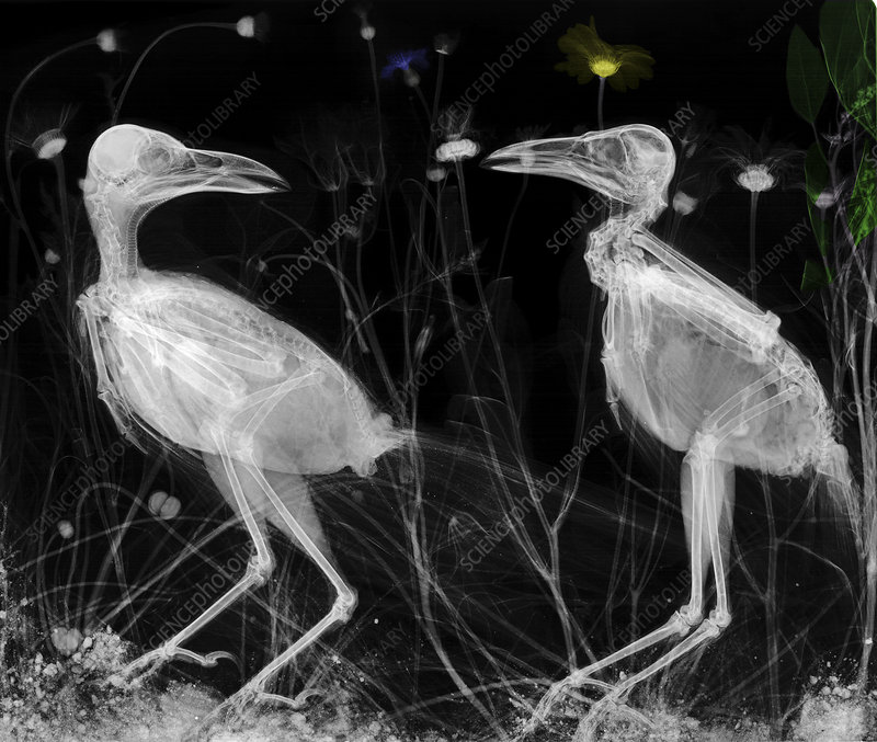 Crows, X-ray