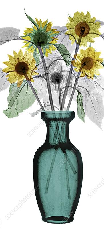 Sunflowers (Helianthus sp.), X-ray