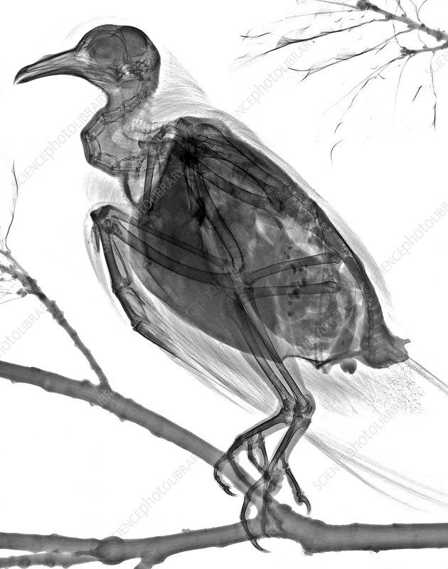 Ring-necked dove, X-ray