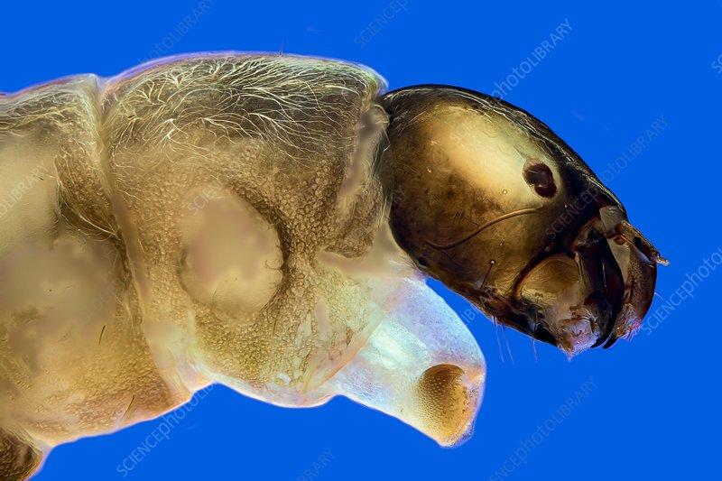 Chironomid larva, light micrograph