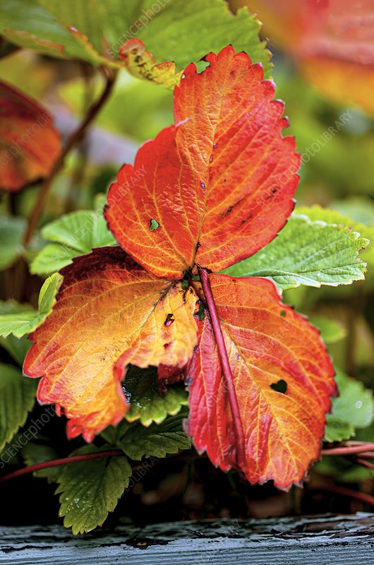 Autumnal strawberry (Fragaria x ananassa) foliage
