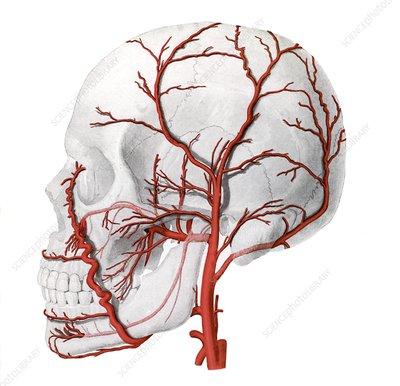 External carotid artery, illustration