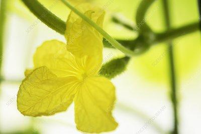 Cucumber (Cucumis sativus) flower