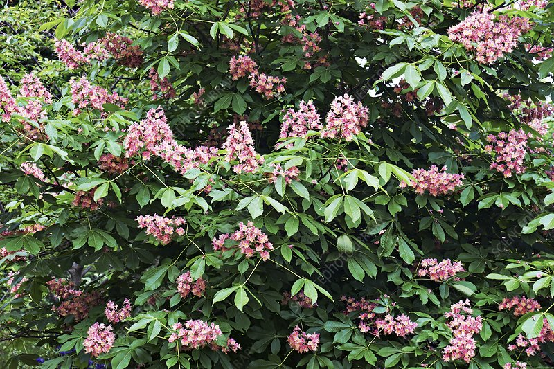 Horse chestnut (Aesculus x carnea 'Fort McNair')