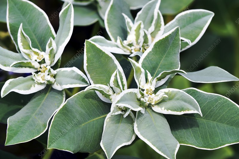 Snow-on-the mountain (Euphorbia marginata)