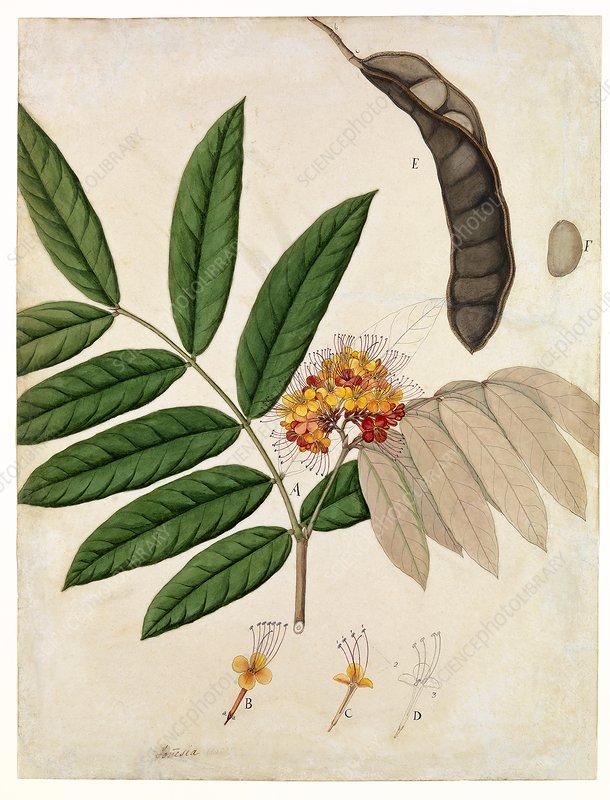 Ashoka tree flowers and seeds, 19th century