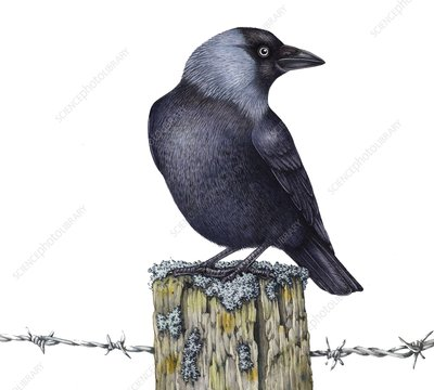 Jackdaw perched on wooden post, illustration