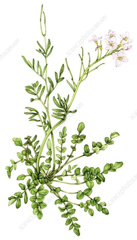 Lady's smock (Cardamine pratensis), illustration