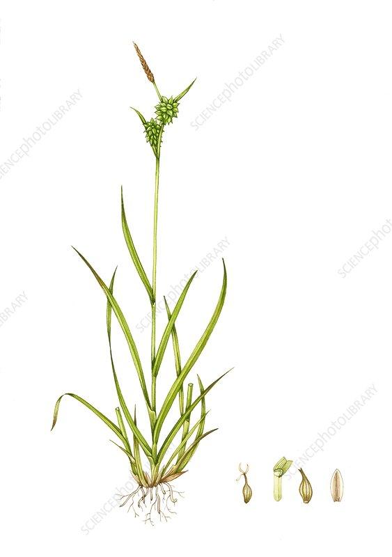 Long-stalked yellow sedge, illustration
