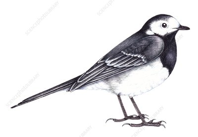 Pied wagtail, illustration