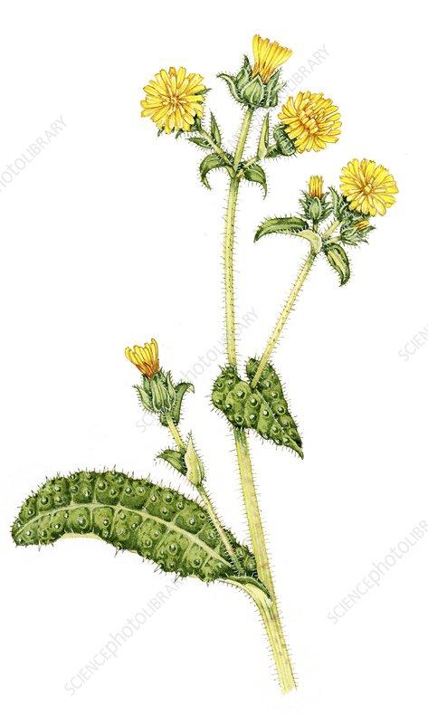 Bristly oxtongue (Picris echioides), illustration