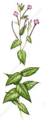 Broad-leaved willowherb (Epilobium montanum), illustration
