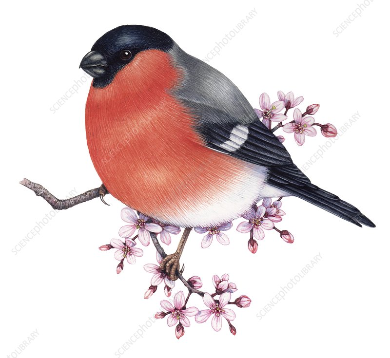 Bullfinch perched on a blossoming branch, illustration