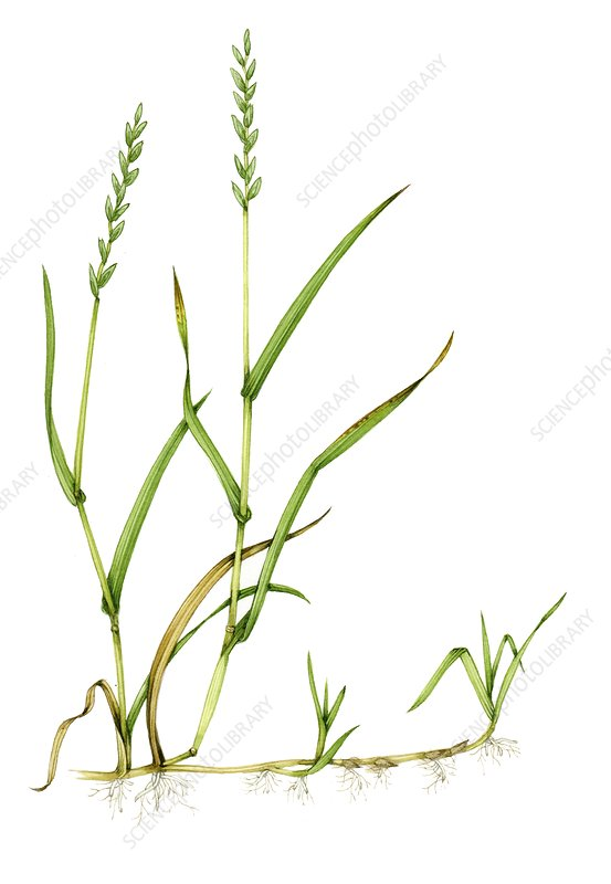 Common couch (Elymus repens), illustration