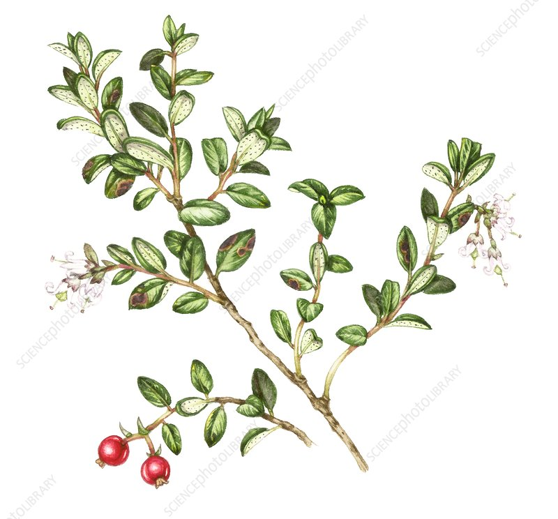Lingonberry (Vaccinium vitis-idaea), illustration