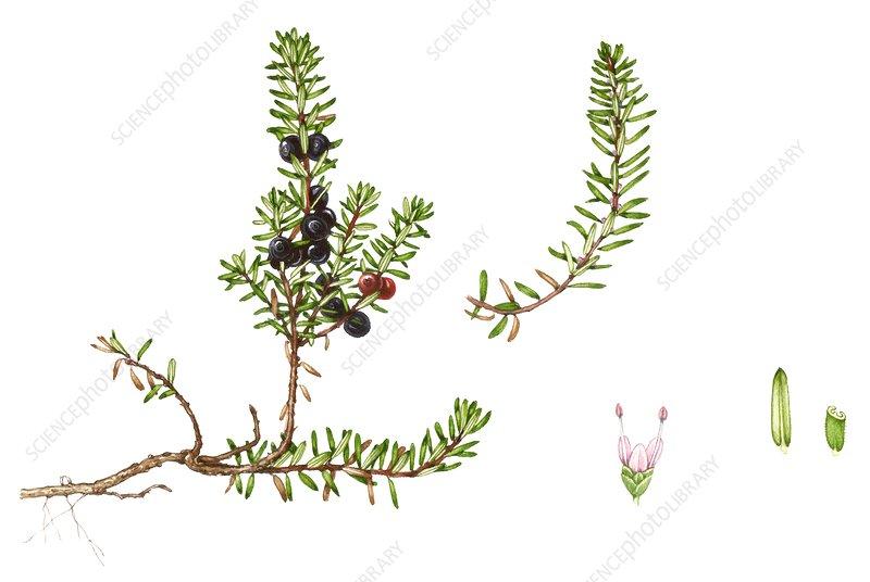 Crowberry (Empetrum nigrum), illustration