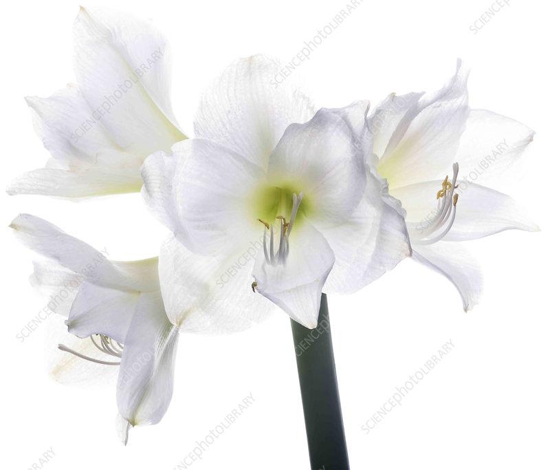 Amaryllis flowers