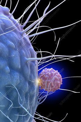 Dendritic cell and T cell, illustration