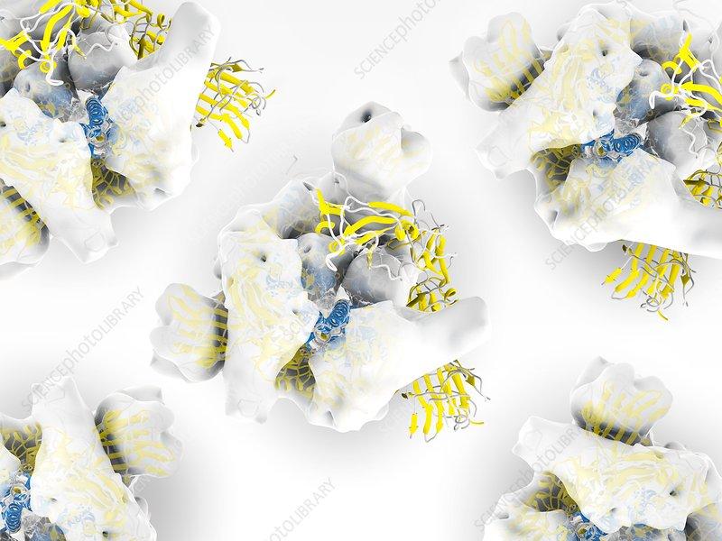 Coronavirus spike proteins, illustration