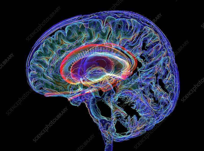 Human brain and limbic system, 3D MRI-based image - Stock ...