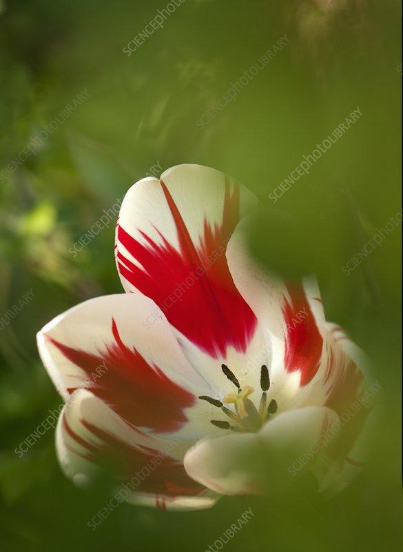 Tulip (Tulipa 'World Expression') flower