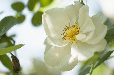 Rose (Rosa alba 'Semi-plena') flower