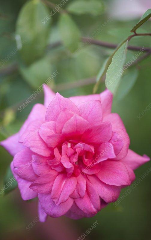 Rose (Rosa 'Lady Ann Kidwell')