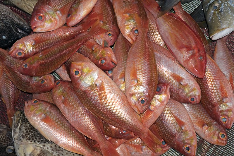Red snappers in fish market