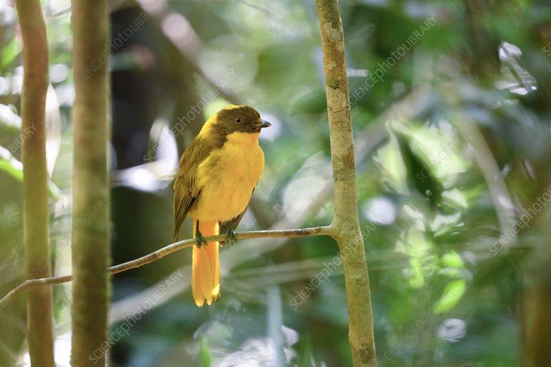 Male golden bowerbird