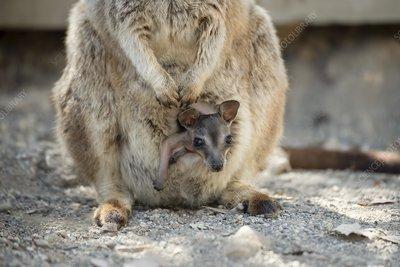 Mareeba rock-wallaby joey in pouch