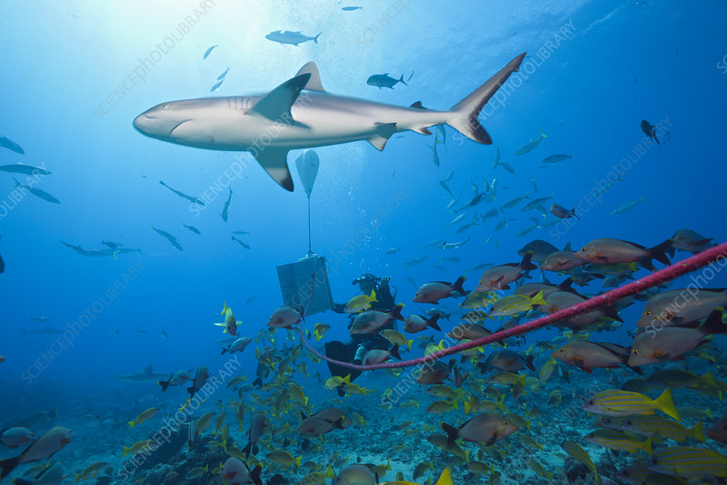 Grey reef shark at shark feeding