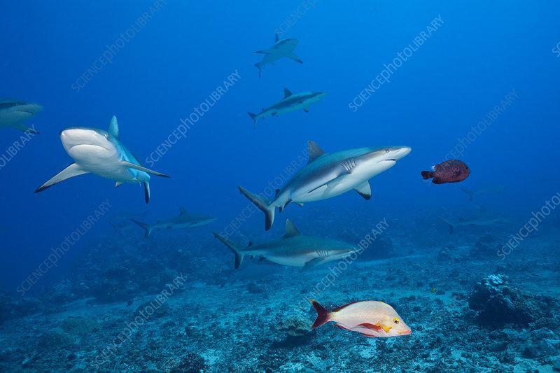 Pack of grey reef shark