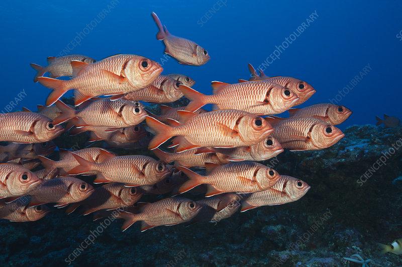 Shoal of blotcheye soldierfish