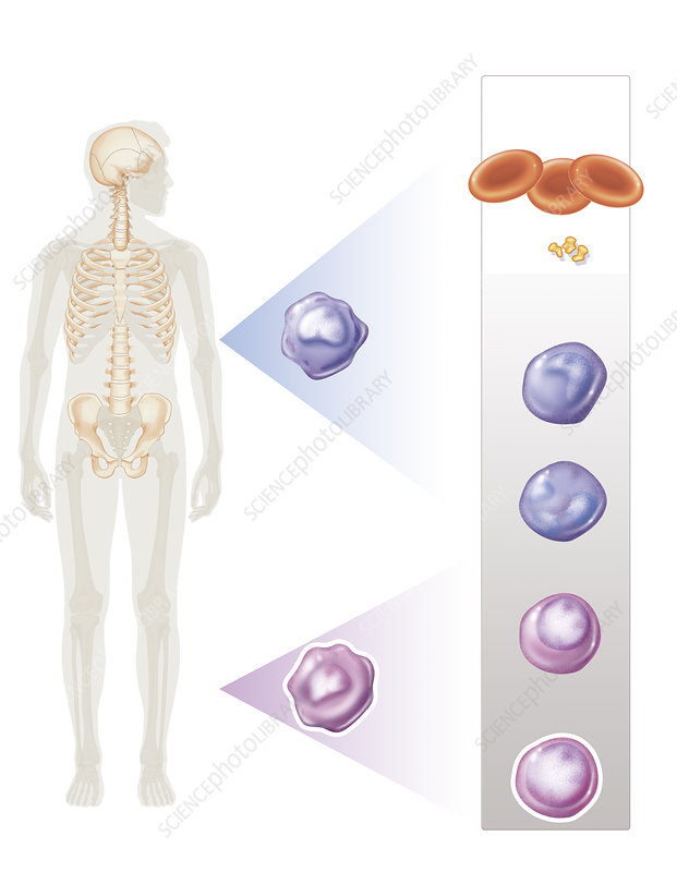 Illustration of the formation of blood cells