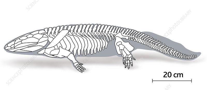 Illustration of the skeleton of a Ichthytegha