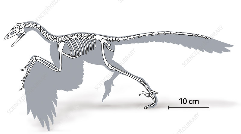 Illustration of the skeleton of an archaeopteryx