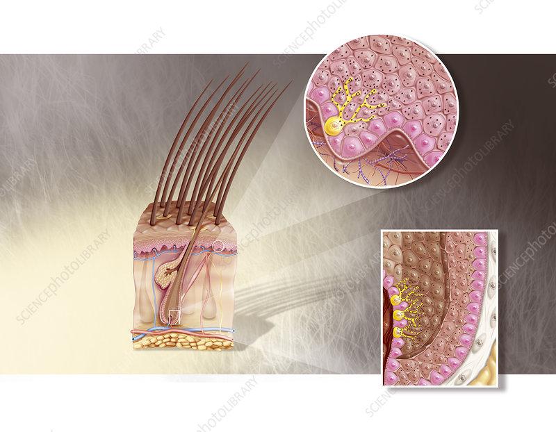 Melanocytes in the epidermis of the skin