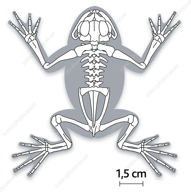 Illustration of the skeleton of a frog