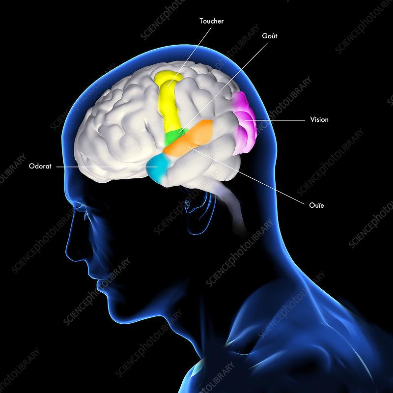 Sensory areas of the brain, illustration