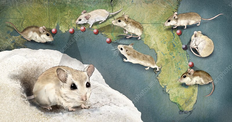 Beach mouse subspecies, illustration