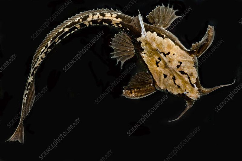 Longtail Banjo Catfish