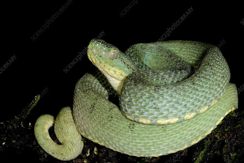 Two-striped Forest Pitviper (Bothriopsis bilineata smaragdina)