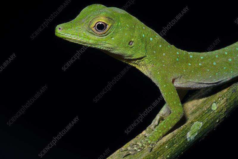 Amazonian Spotted Anole (Anolis Dactyloa punctatus)