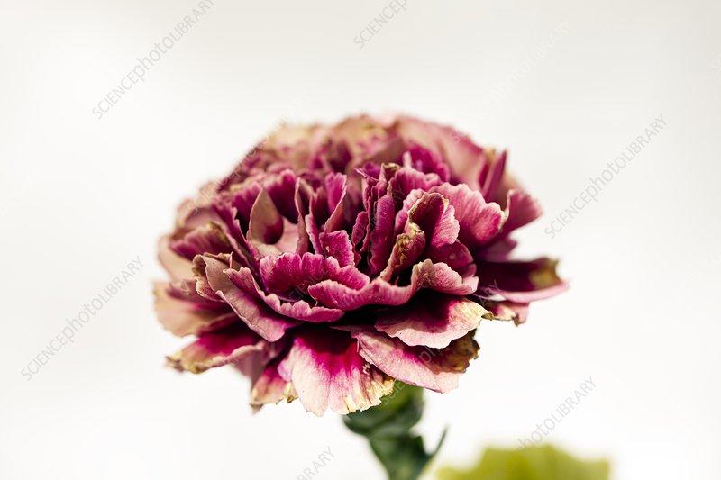 Carnation (Dianthus caryophyllus 'Loup')